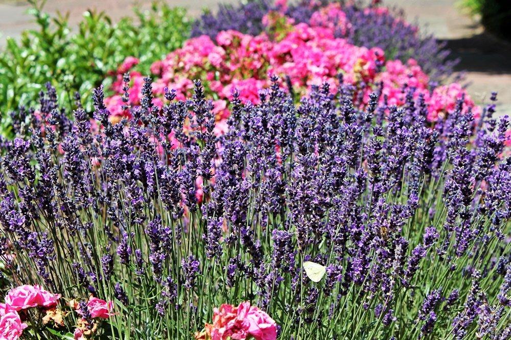Lavendel, 12 von 12, 12v12,